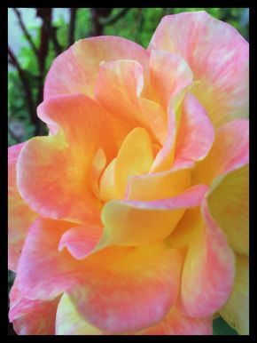 Rose.Pink n Yellow.F